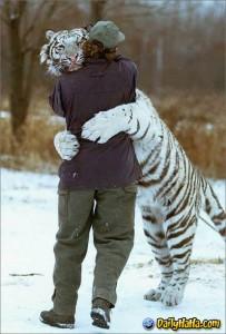 Sibirsk tiger klemmer en mann
