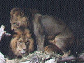 Homofile løver